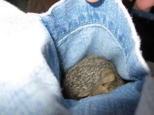 pocketsquirrel