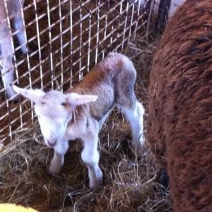 lamb 4 chrissy