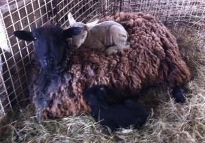lamb on mom