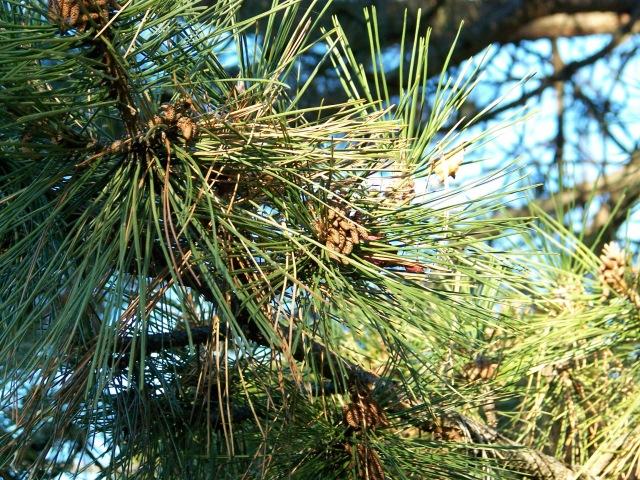 4 pine needles