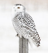 7.1 snowy owl refernce photos