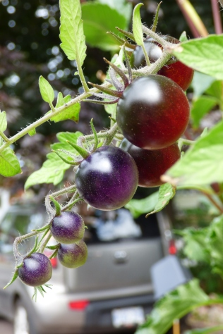 black harratige tomatos